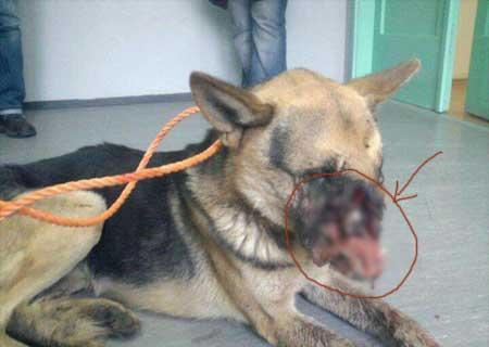 Hình ảnh con chó bị đối xử tàn nhẫn gây phẩn nộ cộng đồng mạng là có thật
